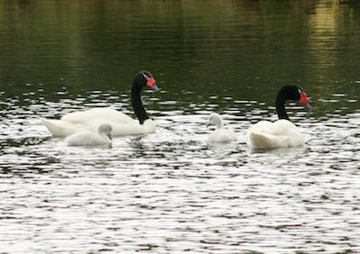 Patagonia_006_Black Necked Swans at Tierra del Fuego
