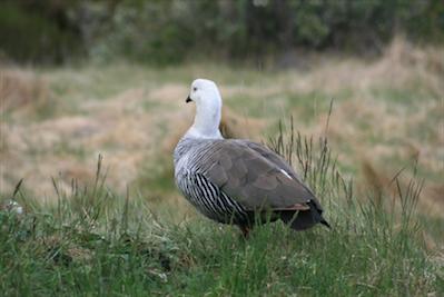 Patagonia_007_Upland Goose at Tierra del Fuego