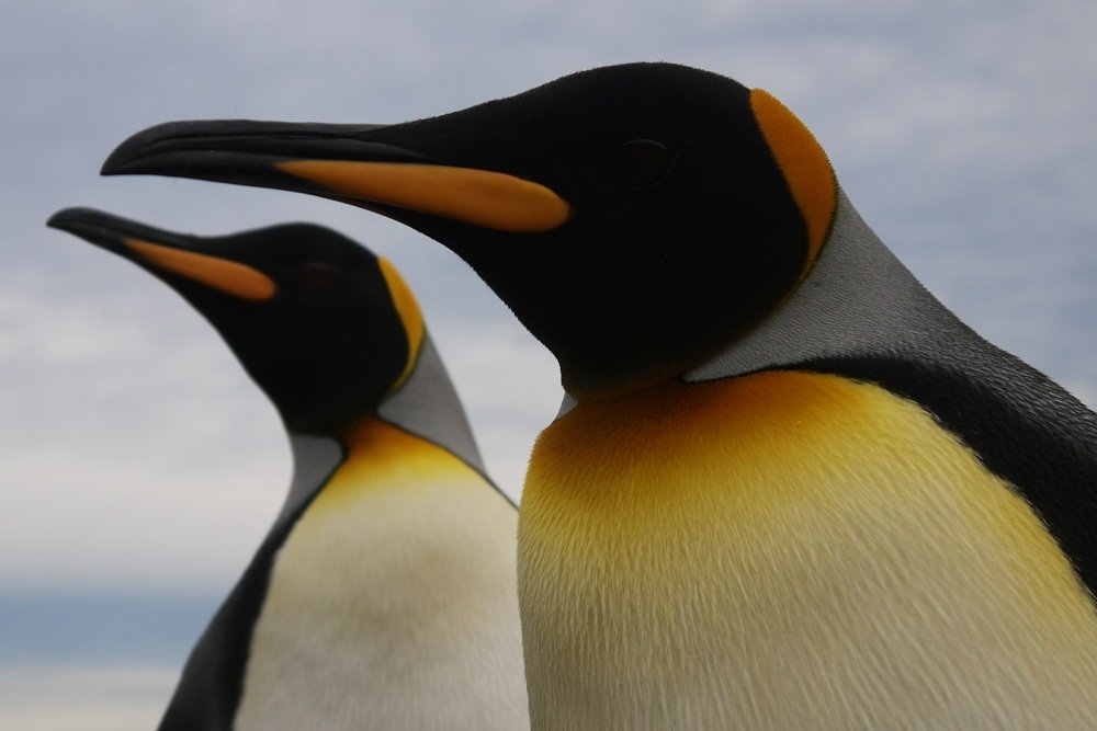 The King Penguins of Tierra del Fuego